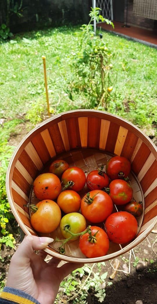 Huerta tomates